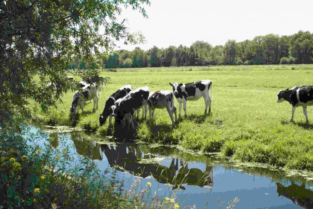 Grazende koeien dijk Gouderak